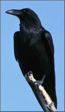 Raven on perch